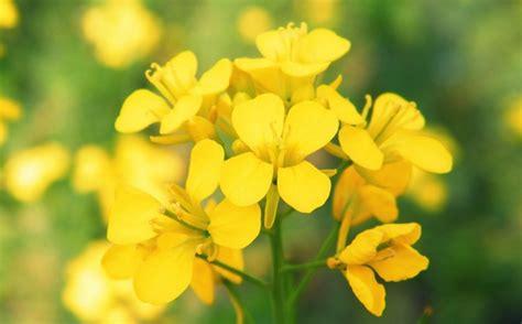 fiori di bach paura mimulus il fiore di bach per la paura e la timidezza
