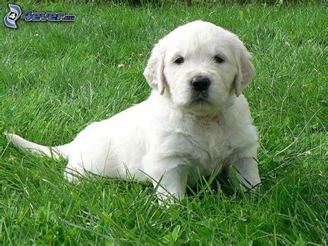 hund golden retriever golden retriever