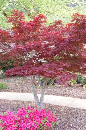 japanese maple care facts and growing tips