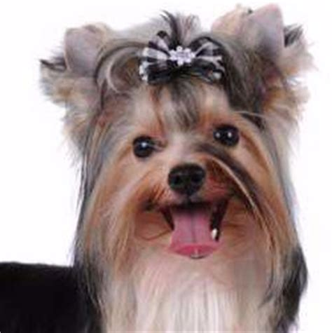 yorkie teeth problems yorkie teeth terrier information center