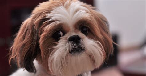 hypoallergenic dogs shih tzu did you these 10 hypoallergenic breeds the animal rescue site