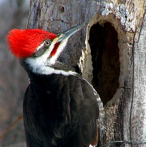 types of woodpeckers
