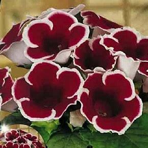 gloxinia kaiser friedrich for sale buy online for only 163 3 99