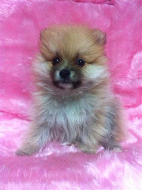 apricot pomeranian 5 apricot pomeranian for sale thame oxfordshire pets4homes