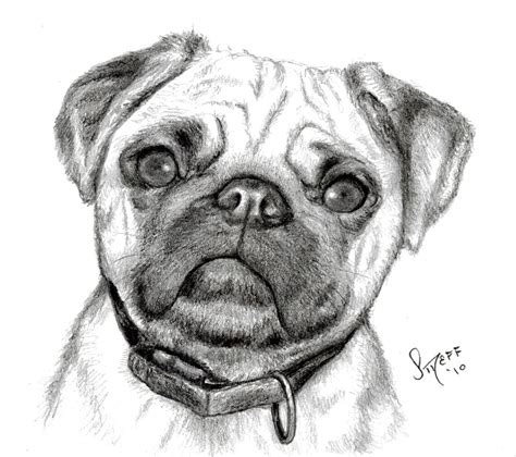 sketch of a pug sketches by streff