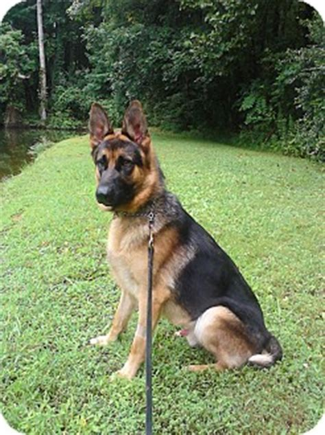 puppies for adoption knoxville tn knoxville tn german shepherd meet logan a for adoption