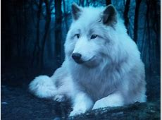 White Wolf With White Eyes Growling Black Wolf With Yellow Eyes