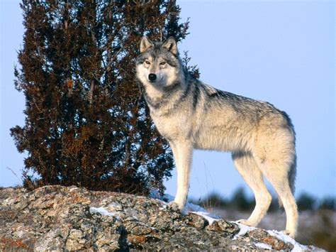 wolf s gray wolf animal unique