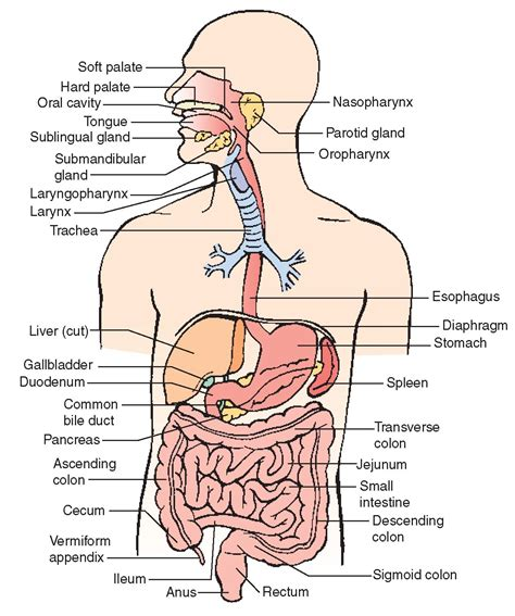 labeled digestive system diagram digestive system diagram labeled anatomy human