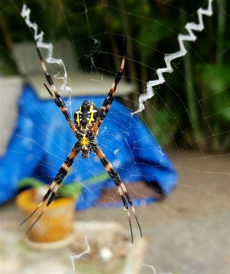 hawaiian garden spiders facts identification  pictures
