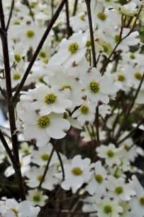 Flowering Dogwood Tree - dogwood care how to grow dogwood trees