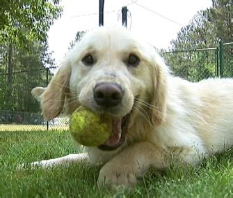 abandoned golden retriever pet scoop 36 rescued goldens arrive in u s puppy surprises anchor on live tv