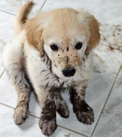mud puppy what a mud puppy dogs general