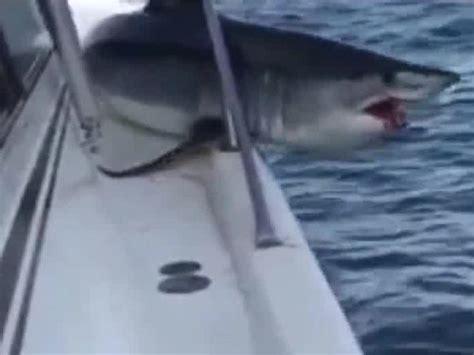 great white shark jumps in boat monstrous shark jumps onto fishing boat abb takk news