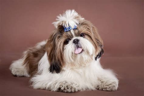 shih tzu shedding most popular hypoallergenic non shedding breeds