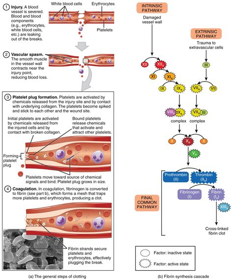 mechanism of blood clotting flowchart hemostasis anatomy and physiology ii