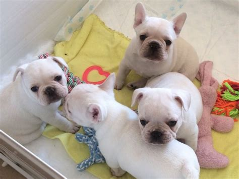 trained puppies for sale well trained bulldog puppies for sale offer 65