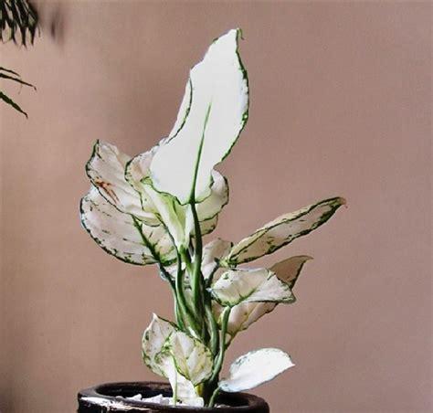 Tanaman Hias Aglonema tanaman hias pembersih udara dalam ruangan bibitbunga