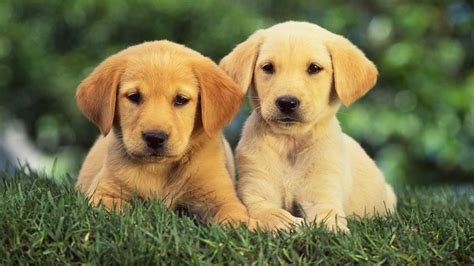 golden retriever health facts 50 golden retriever facts that you probably didn t lucky golden retriever