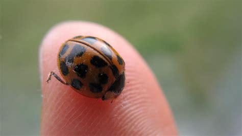 do aphids bite do ladybugs bite reference