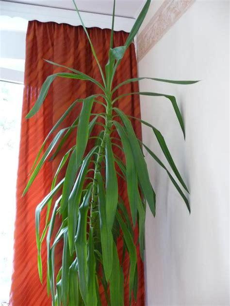 biete sch 246 ne gro 223 e zimmer yucca in seramis gepflanzt wegen