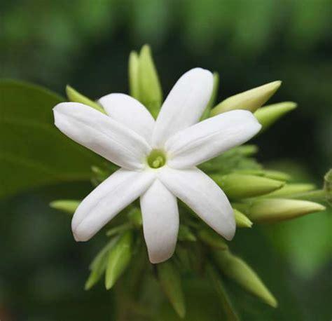 profumi di fiori gelsomino d egitto profumoterapia profumi di fiori