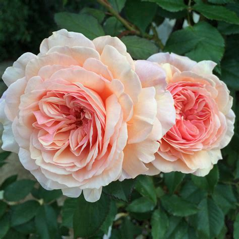 the english roses gallery of english roses apricot orange and peach rushton