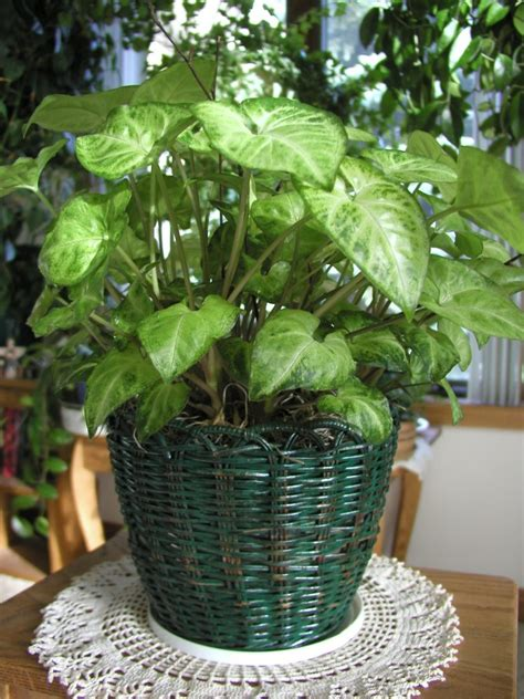 common house plants with shaped leaves 6 common indoor plants that are highly toxic davidwolfe