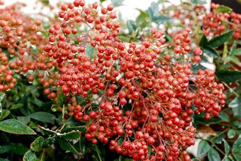 nandina domestica in vaso nandina domenstica nandina domenstica piante da