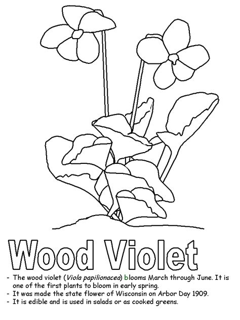 wisconsin flower coloring page wood violet coloring pages