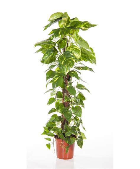 buy house plants buy house plants now scindapsus bakker com