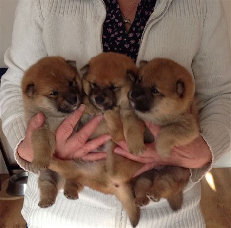 shiba inu puppies colorado 3 japanese shiba inu puppies for sale bedford bedfordshire pets4homes