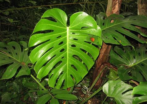 Tanaman Monstera Deliciosa e species tropical seeds monstera deliciosa