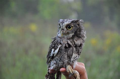screech owl willistown conservation trust bird blog