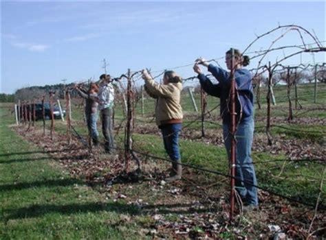 potatura della vite da tavola potatura uva da tavola curiosit 224 uva