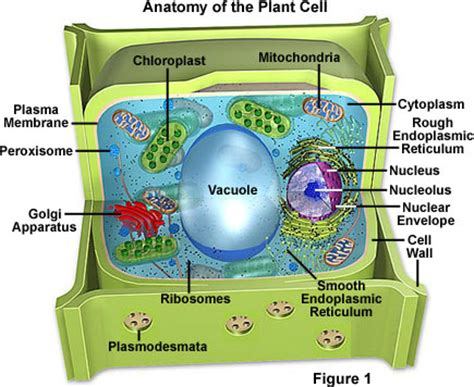 plant cell diagram for 5th grade dbscience5 mickey