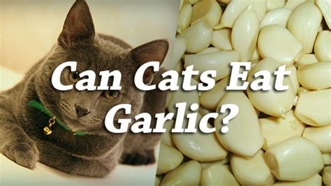 my ate garlic can cats eat garlic pet consider