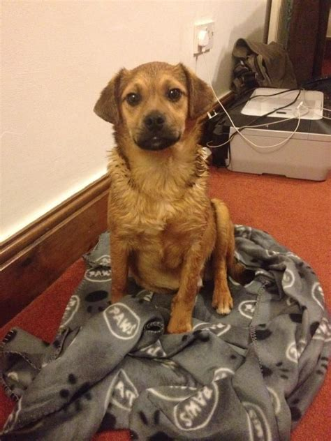 border terrier x pug border terrier x pug for sale to a loving home leeds west pets4homes