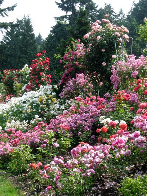 rose gardening rose garden