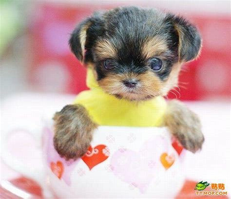 tiny puppies tiny dogs in cups 8 pics