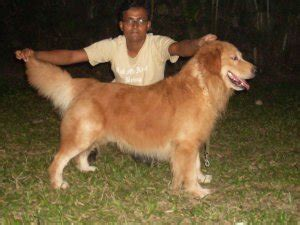golden retrievers price golden retriever pups for sale kolkata free classified ads