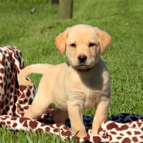 labrador puppies pa yellow labrador retriever puppies for sale greenfield puppies