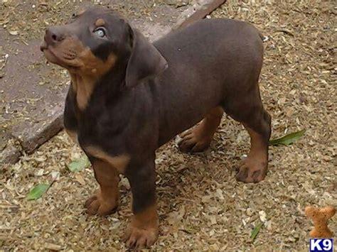 doberman pinscher puppy price doberman pinscher puppy for sale doberman puppies for sale in los angeles 4 years