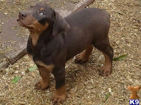 doberman puppies for sale in oklahoma doberman pinscher puppies for sale in california