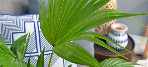 happy house palm 8 secrets to a happy indoor palm flower power