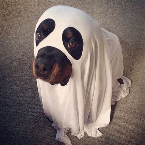 costumes for rottweilers a spooktacular big dogs can play dress up flickr