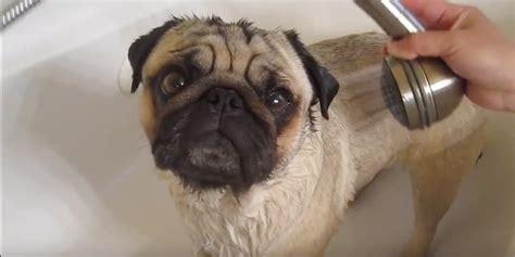pug bathtub video minnie the pug says no way to bath time watch how