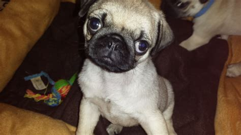 fawn pug puppies for sale uk beautiful tiny fawn pug puppies for sale ipswich suffolk pets4homes