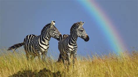google wallpaper zebra zebra full hd wallpaper and background image 1920x1080