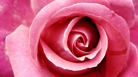 beautiful pink rose wallpapers hd wallpapers id
